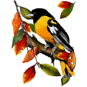 Oriole In Fall