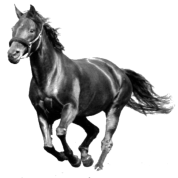BLACK STALLION HORSE